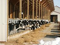 Heifer, dairy, farm, barn, feed, cow,