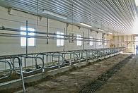 Tie Stall, farm, barn, cow, cows, milking, milk, dairy, farm, barn, feed, calf,