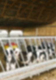 Heifer, dairy, farm, barn, feed, cow, milk, calf,