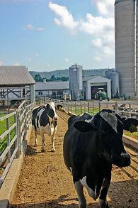 Hoover, Lebanon, freestall, dairy, rubber mats,