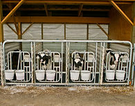 calf, dairy, farm, barn, feed, cow, milk, feeding, treatment
