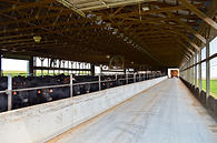 Beef, feed, bedded pack, slatted floors, barn, farm,