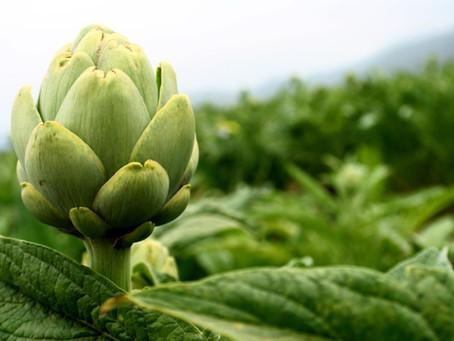 Los productores de alcachofa esperan superar las 220.000 toneladas este año.