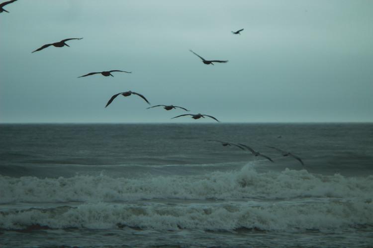 Pelicans are flying over the ocean, Wilmington, North Carolina, December 2014