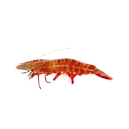 中隻 紅花足蝦(1斤 /1catty )