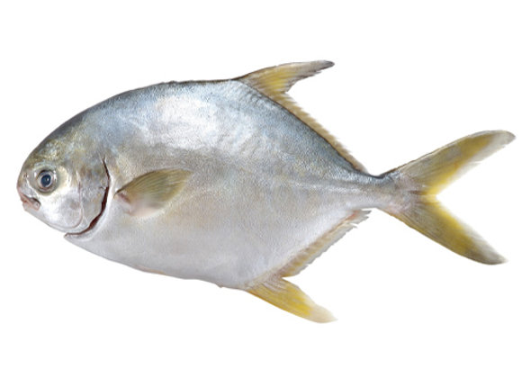 黃立鯧(斤)