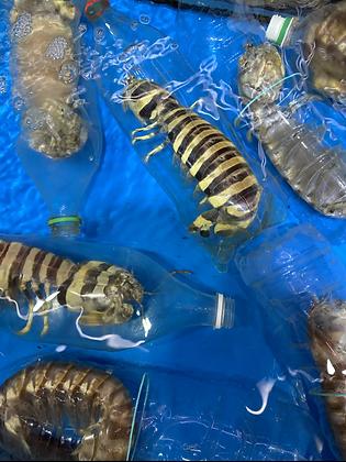 斑馬賴尿蝦(1斤/ 1catty)