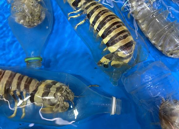 斑馬賴尿蝦(斤)