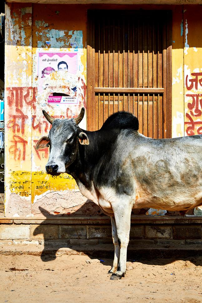 Street Bull