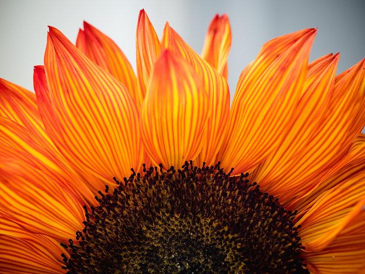 sunflower orange rosie-kerr-DoUUDaNwHJM-unsplash.jpg
