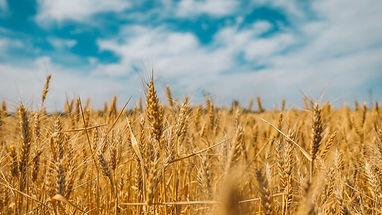 Wheat Field polina-rytova-1dGMs4hhcVA-un