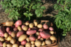 basket-of-potatoes.jpg