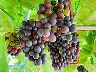 grape 7.jpg