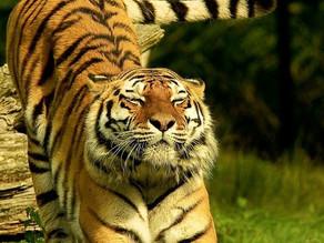 Do tigers do yoga?