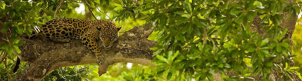 Intiaanisokerin jaguaari