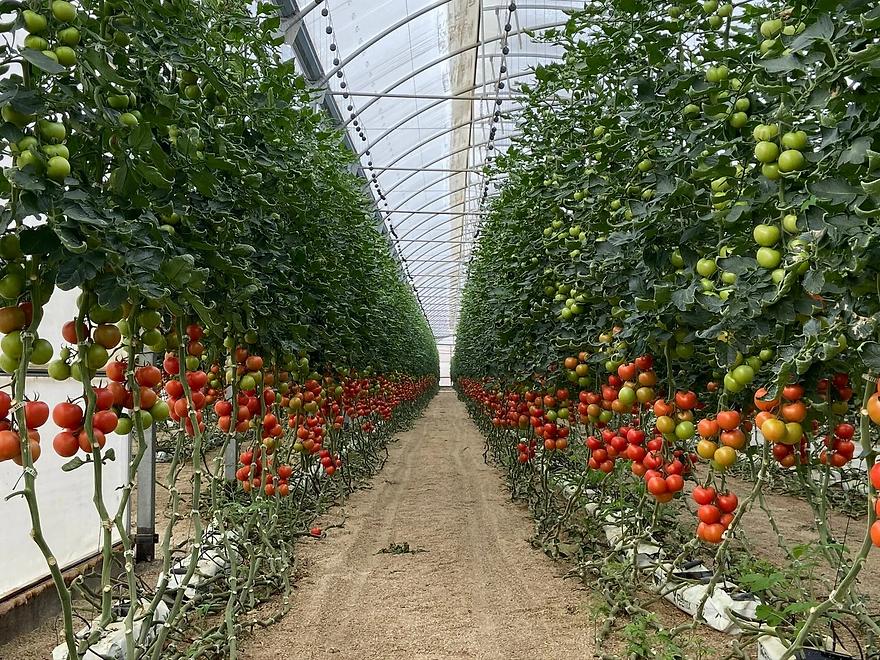 Invernadero-de-tomates.webp