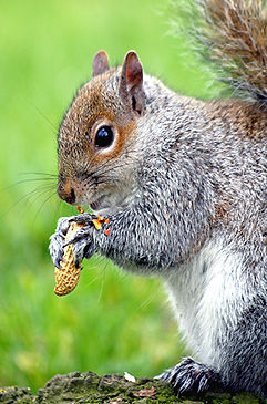 Grey-Squirrel.jpg