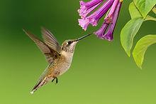 hummingbird-1056383_1280.jpg