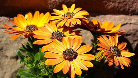 daisiesmarguerites orange-5083145_1920.j