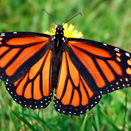 Saving the Butterflies