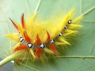 american dagger caterpillar.jpg