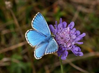 Adonis Blue.jpg