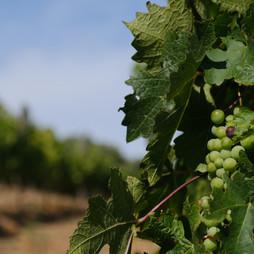 While I'm not big on grapes, I do enjoy a glass of Chardonay...