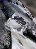 Lure Light Chinook Salmon_7.jpg