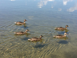 Ducks by our shore