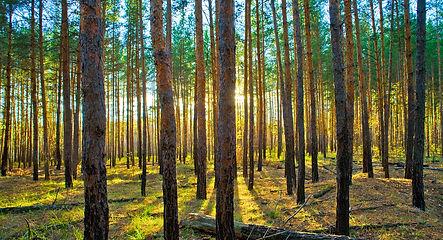 Лес в лучах света