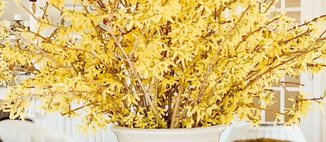 Forcing Forsythia Branches into Beautiful Spring Flowers
