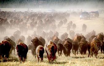 buffalo roundup.jpg