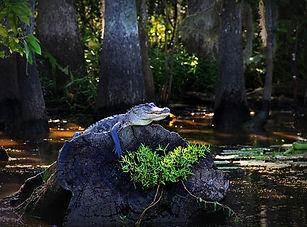 alligator-170134__340.jpg