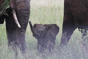 baby-elephant-222978__340.jpg