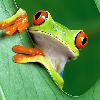 Red-Eyed Tree Frog by Ron Cogswell.jpg