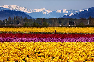Skagit-Tulip-Festival-mountains.jpg
