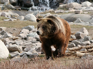 brown-bear-yellowstone-national-park-wyo