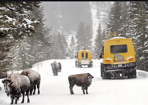 yellowstone_bison_winter_snowcoach.png