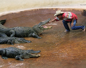 alligators at Miccosukee.jpg
