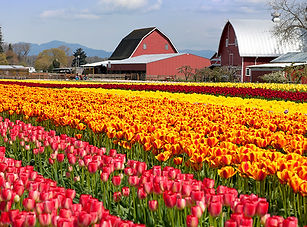 skagit valley tulips.jpg