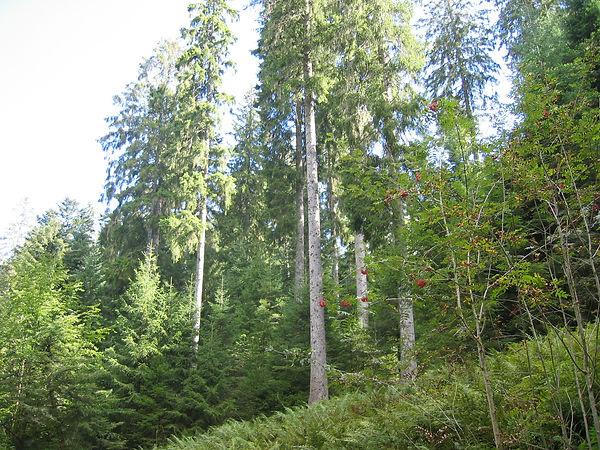 Forêt d'origine du bois dans les Vosges
