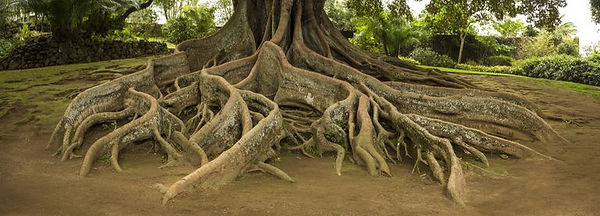 elevated-tree-roots-in-park-591408977-5a