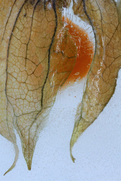 The Fruit of Physalis