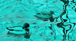 Green Ducks