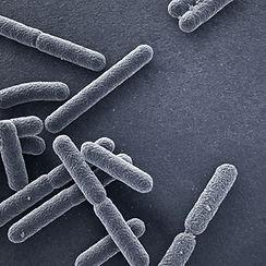 Escherichia coli bacteria close up.jpg