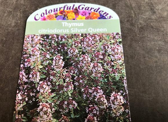 Thymus citriodorous Silver Queen (Garden Thyme Silver Queen)