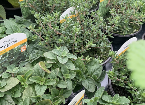 Herbs in Small Pots