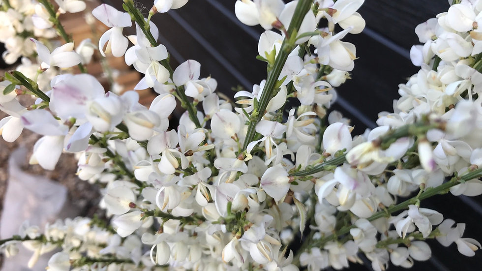 White Broom (Cytisus Praecox Albus)