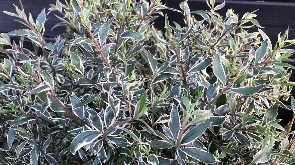Abelia x grandiflora Confetti (Abelia Confetti)