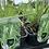 Thumbnail: Molina arundinacea Karl Foerster (Purple Moor Grass)